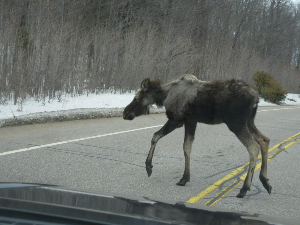 Moose spotting on Highway 60